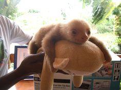 cutest sloth ever
