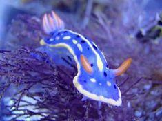 大阪湾に生息するウミウシの仲間たち!海遊館サテライトギャラリーにて「海の宝石 ウミウシ展」|ローカルニュース!(最新コネタ新聞)大阪府 大阪市|「colocal コロカル」ローカルを学ぶ・暮らす・旅する Weird Sea Creatures, Alien Creatures, Ocean Creatures, Underwater Creatures, Underwater World, Sea Slug, Fish Farming, Beautiful Bugs, Marine Fish