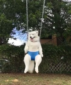 That Sammy, well he's a swinger! Cute Funny Dogs, Cute Funny Animals, Cute Cats, Cute Animal Videos, Funny Animal Pictures, Cute Dogs And Puppies, I Love Dogs, Doggies, Samoyed Dogs