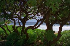 Treeline Anahola Beach by Dennis Begnoche - Photo taken looking through treeline anahola beach Kauai. Click on the image to enlarge.