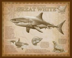 Species Of Sharks, Manta Ray, Photos, Movie Posters, Animals, Great White Shark, Backgrounds, Pictures, Film Poster