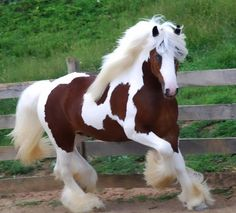Beautiful Gypsy Vanner.