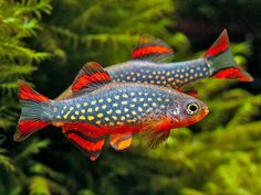 Galaxy danio...these are the same species as the zebra fish, wonder if they raise them for aquariums?