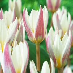 Ice Stick Tulip...so pretty