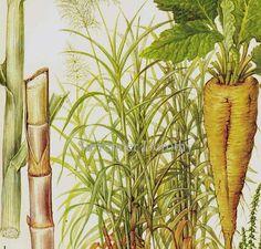 Sugar Cane Sugar Beet  Tropical Plant Chart by SurrenderDorothy, $10.89 - MAY