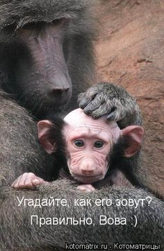 Little Baboon -- a face only a mother could love! Primates, Mammals, Funny Monkey Pictures, Mother And Baby Animals, Gorilla Tattoo, Funny Animals, Cute Animals, Baboon, Monkey Business