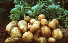 Potatoes are nutritious and very easy to grow.