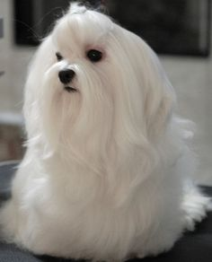 Absolutely gorgeous, but oh, the maintenance!!!! I think Maltese are happier with short hair. Their hair mats easily.