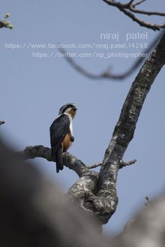 Nirajphotographer: Collared Falconet