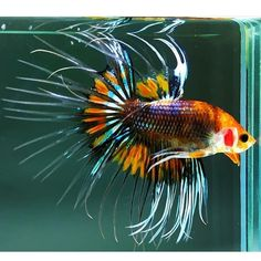 Knowing All Types Of Betta Fish - By Tail, Pattern And Color With Photo And Description - The betta fish is also called Siamese fighting fish is one of the popular fish are keeping by fish hobbies. Tropical Freshwater Fish, Freshwater Aquarium, Tropical Fish, Aquarium Fish, Pretty Fish, Beautiful Fish, Animals Beautiful, Colorful Animals, Colorful Fish