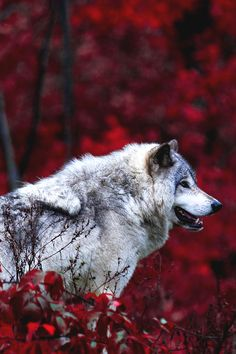 Mystical - motivationsforlife: Timber Wolf by Jim Cumming //...