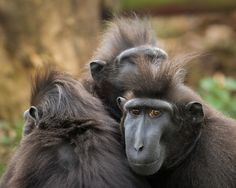 https://flic.kr/p/ruJJBX | Experts at keeping warm... | Sulawesi Crested Black Macaques @ Durrell Wildlife Conservation Trust - Jersey, Channel Islands