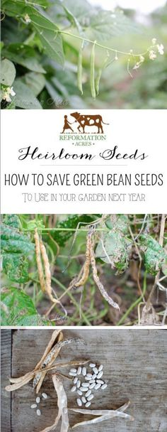 How to Save Heirloom Bean Seeds: