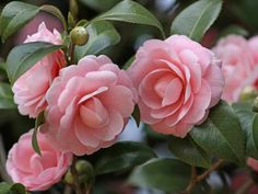 Propagation of Camellias is usually accomplished through seeds, cuttings or layering, and grafting. While taking cuttings or layering is the easiest and most preferred method, many people are still interested in growing Camellias from seed. Growing Camellias from seed is much slower than other...