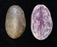 Entzia And Miren - Two New Potato Varieties