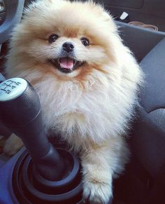 I'm looking forward to adopting a female Pomeranian to be my co-pilot; and give her a forever home. Teacup Puppies, Cute Puppies, Dogs And Puppies, Puppies Tips, Cute Animal Pictures, Puppy Pictures, Cute Dogs Breeds, Dog Breeds, Happy Animals