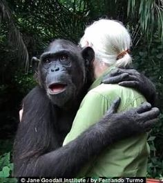 [Photos/Video/Article] Wounda the gorilla gives Jane Goodall a hug of thanks and farewell. Wounda was nursed back to health over a long period of time by Ms. Goodall and was recently released into an animal sanctuary. Jane Goodall, Primates, Mammals, Beautiful Creatures, Animals Beautiful, Cute Animals, Dian Fossey, Animal Hugs, Best Hug