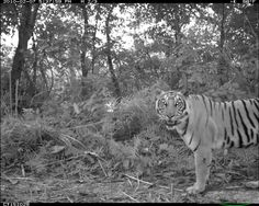 Tigers aren't known for being accommodating, but a new study in the Proceedings of the National Academy of Sciences indicates that the carnivores in Nepal are taking the night shift to better coexist with humans.