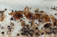 bedbugs solution Toronto