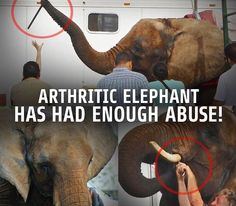 Please sign this very important petition! Save Nosey the elephant from further cruelty!   She's hurting and STILL working? Give her a break!