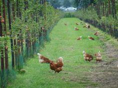 Agroforestry for poultry systems in the Netherlands - Agforward - en