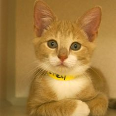 Adopted - Petey is a 3 month old, male, buff and white domestic short haired cat. Petey has the sweetest face and nicest personality. He is very curious and wants to make friends with everyone, he loves to play and cuddle too. www.poainc.org #adoption