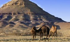 Camels are the main mode of transport used by Egyptians in the desert. http://www.secretearth.com/destinations/175-egypts-western-desert