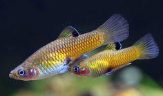Phallichthys tico - www.zyworodne.fora.pl
