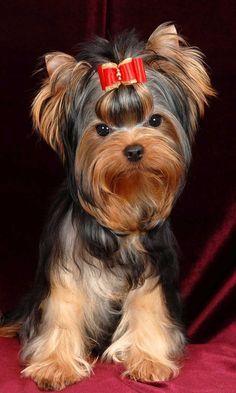 Se tem um Yorkshire lá em casa, então esta informação é para si! #animais #pets #cachorros #yorkshire