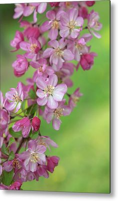 Crab Apple Coralburst Blossom 1 Metal Print by Jenny Rainbow. All metal prints are professionally printed, packaged, and shipped within 3 - 4 business days and delivered ready-to-hang on your wall. Choose from multiple sizes and mounting options. All Flowers, Spring Flowers, Beautiful Flowers, Spring Has Sprung, Framed Prints, Art Prints, Great Pictures, Fine Art Photography, Pink Roses