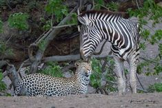 After this leopard tried to take down this zebra, the leopard walked up to the zebra, as if they were making friends. The zebra touched his muzzle on the leopards head. The leopard left. Yes, leopards do hunt young zebra. Unlikely Friends, Game Reserve, Leopards, Flora And Fauna, Animals Of The World, Zebras, Animals Beautiful, African, Nature