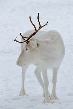 I think Albino Reindeer, What you think