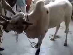 Dangerous cow #pranks #funny #prank #comedy #jokes #lol #banter