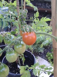Paradicsom gondozása Tomato Garden, Vegetables, Gardening, Plant, Veggies, Garten, Vegetable Recipes, Lawn And Garden, Square Foot Gardening