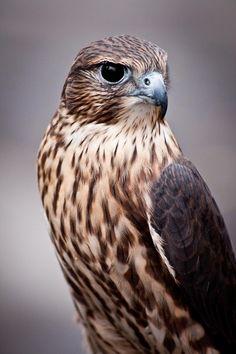 bird of prey <3