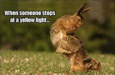 When someone stops at a yellow light... (Funny Car Pictures) - #bunny #rabbit #stop #traffic light #yellow