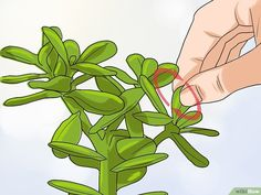 How to Propagate Succulents from Leaves. Propagating succulents from leaves is a simple project that requires a few steps and a couple supplies. Pink Succulent, Succulent Landscaping, Succulent Gardening, Planting Succulents, Propogate Succulents, Propagate Succulents From Leaves, Growing Succulents, Jade Plants, Cactus Plants