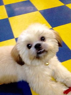 Smiling with effort Shih Tzu, Effort, Pepper, Barbie, Dogs, Animals, Animais, Animales, Animaux