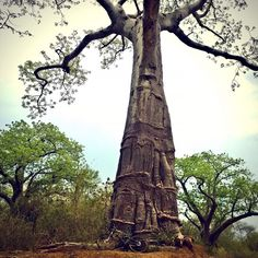 Baobabs are the coolest. Currently riding in the Lower Zambezi area camping at Kiambi lodge.  #outside #outsideisfree #adventuring #roadtrip #adventure #cycling #travels #travel #riding #cyclinglife #baobab #exotic #riseandshine #instabikes #athletelife #athlete