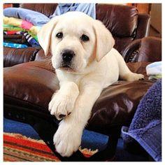Labradorable. #labradorretriever