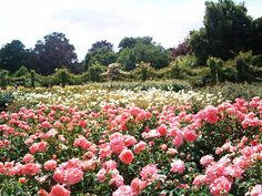 More roses in one park than you'll see in your entire life—Regents Park