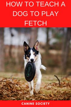 How To Teach a Dog To Play Fetch In most people's minds, fetching and dogs have always been synonymous, yet the reality is that a lot of dogs do not fetch, or they do not fetch well. What appears to be a natural and effortless game between dog and owner is often the result of a lot of training (and sometimes frustration) on both ends. However, most dogs can be taught to fetch properly, and here are the steps to get you started. Dog Commands Training, Corgi, Teaching, Play, Game, Natural, Fun, Animals, Corgis