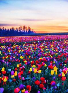 tulip field in Woodburn, Oregon, USA