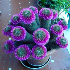 cactus flower and fern candle Unusual Flowers, Unusual Plants, Cool Plants, Beautiful Flowers, Beautiful Pictures, Succulent Gardening, Cacti And Succulents, Planting Succulents, Planting Flowers