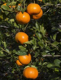 Mandarin orange tree for sale Plant Aesthetic, White Aesthetic, Orange Tree For Sale, Fruit Quotes, Forest Garden, Orange Fruit, Delicious Fruit, Types Of Plants, Tropical Plants