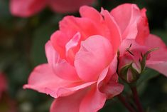 """blooms-and-shrooms: """"Rose by Brian's Darkroom on Flickr. """""""