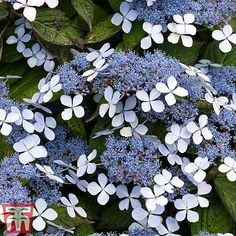 Hydrangea Potted, Pruning Hydrangeas, Hydrangea Varieties, Clematis Plants, Hydrangea Paniculata, Hydrangea Garden, Cut Flower Garden, Hydrangea Flower, Garden Plants