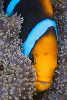 Clownfish Peak Marine Aquarium Fish, Marine Fish, Reef Aquarium, Saltwater Aquarium, Amazing Aquariums, Salt Water Fish, Water Life, Sea Birds, Sea World