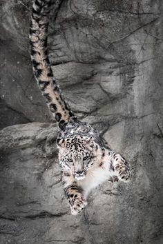 "beautiful-wildlife: ""Snow Leopard Wall Bounce by Abeselom Zerit """