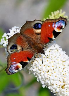 Spring Surprise by Mountain Dreams Patriotic Butterfly!